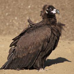 1-cinereous-vulture