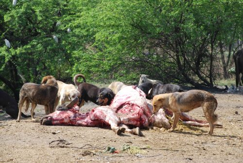 Dogs-at-carcass