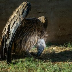 white-backed-vulture-recovers-VulPro-2048