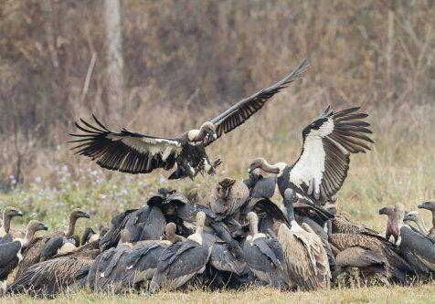 OD_vultures_10